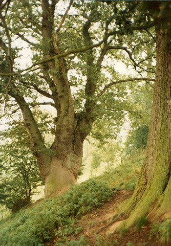 ancient oaks adjoining the footpath to the river